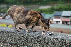 Super Skinny Cat at Cat Village (superzookeeper) Tags: formosa 5dmk4 5dmkiv canoneos5dmarkiv ef2470mmf28liiusm eos digital taiwan tw cat catsofflickr catsoftaiwan catsofhoutong catvillage houtong bokeh free freedom street skinny skinnycat