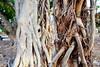 dsc01575 (space lama) Tags: moretonbayfig banyan tree bokeh roots