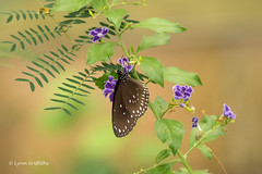 Butterfly - Common Crow D75_9627.jpg (Mobile Lynn) Tags: insects nature butterfly captive fauna insect wildlife studleygrange swindon wiltshire uk