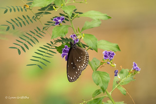 Butterfly - Common Crow D75_9627.jpg