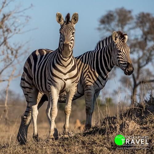 Zebras - Sabi Sabi 2015
