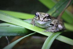 Frog (David Fox047) Tags: frog pond garden