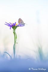 """ Le Contemplateur "" (Thomas Delahaye) Tags: aster alps alpes proxi thomas delahaye contemplateur butterfly papillons fleur pralognan flower bokeh ngc canon 100 sweet"
