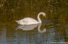 Zwaan (Chantal van Breugel) Tags: herfst vogels zwaan reflectie medemblik noordholland september 2017 canon5dmark111 canon70300