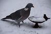 Romeo 11-02-2017 (Maxime de Boer) Tags: romeo pigeon duif houtduif vogel bird gods creation schepping