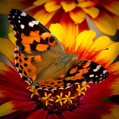 Orange crush (Painted Lady butterfly) (LKungJr) Tags: butterfly insect nature flowers orange color macro paintedlady