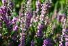 Indecision (Andy Kass) Tags: buds danmark jutland knopper flower denmark have aarhus garden lyserød jylland botanicgardens botaniskhaveaarhus blomst green stem pink grøn