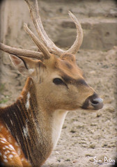 Bambi (Sam Petar) Tags: baghdad nikon nature animale face eye p510 bambi iraq