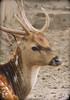 Bambi (Sam Petar) Tags: baghdad nikon nature animale face eye p510 bambi iraq