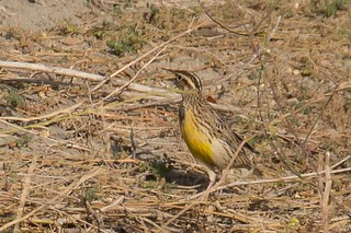 Western meadowlark shouting its heart out