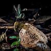 Bridal veil stinkhorn (Phallus sp.) - ESC_0253 (nickybay) Tags: malaysia borneo borneobootcamp sabah danumvalleyfieldcentre danumvalley macro bridal veil stinkhorn phallus phallaceae indusiatus phallales agaricomycetes basidiomycota