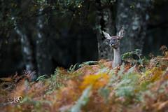 Brame du Cerf - Biche (Réserve naturelle ariègoise) 07 octobre 2017 (ÇhґḯṧtÖphε) Tags: 09 ariège biche brameducerf canon ddo domainedesoiseaux france ladddo mazères midipyrenées occitanie wwwlesamisdudomainedesoiseauxfr été