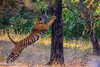 Noor The Tigress in Zone 2, Ranthambhore (Aayushmaan Deka) Tags: tigress ranthambhore