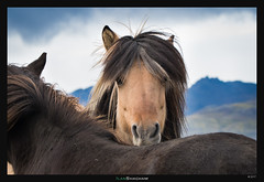 Shy (Ilan Shacham) Tags: horse iceland shy contemplative horses animal equestrian feeling emotion mountains fineart fineartphotography eyes pony