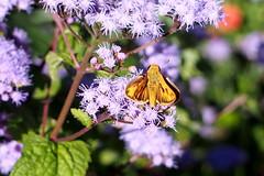 Fiery Skipper (Jim Atkins Sr) Tags: fieryskipper skipper butterfly hylephilaphyleus macro ageratum closeup flower northcarolina newbern olympuspenepm2 olympus