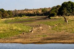 Going for conference at Timbavati river (mayekarulhas) Tags: timbavati river wildlife wild impala giraffes canon southafrica krugernationalpark