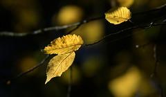 Golden Bokeh - Explored 18. Oct 2017 (Nephentes Phinena ☮) Tags: autumn eekholt herbst nikond500 sigma50500mmf463 leaves bokeh smileonsaturday tinytreasuresinflora