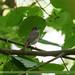Rusty-tailed Flycatcher (Muscicapa ruficauda)