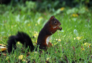 Red Squirrel (3138)