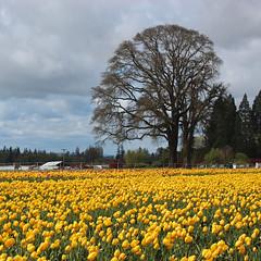 Wooden Shoe Tulip Farm (russ david) Tags: wooden shoe tulip farm woodburn or oregon april 2017 filed flower landscape