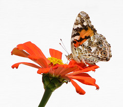 Painted lady in zinnia (Vicki's Nature) Tags: paintedlady butterfly orange red spots zinnia blossom flower highkey vickisnature yard georgia canon s5 9286 fall autumn september