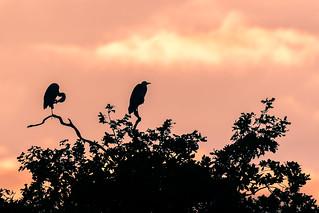 Pair of grey herons (Ardea cinerea) silhouetted preening and sitting in tree