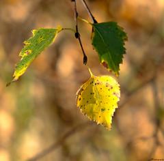 colors of autumn... (vreny_) Tags: autumn colors colorful herbst nature outdoor natureshot blätter blatt farben farbenfroh natur baum tree light fuji xt2