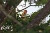 長鼻猴 (游青峰 Daniel) Tags: sabah canon6d canon 沙巴 沙巴之旅 北婆羅洲 kawakawa 長鼻猴 樹 鳥 天空 木質 秋葉 動物 葉子
