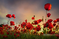 Backlit Poppies (Nick Brundle - Photography) Tags: agriculture arhus backgrounds denmark dusk field flower jutland landscape meadow nature petal plant poppy red scandinavia scenics sky summer sunlight sunset tranquility vitality wideangle wildflower nikond750 nikon1424mmf28 gettyimages d750