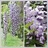 wisteria (jangurney) Tags: wisteria mauve fujis1