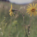 Arnica montana usually single headed Laas
