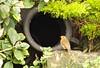 5563 Robin - Erithacus rubecula - and an urn. (Andy - Busyyyyyyyyy) Tags: ccc eee ggg green hydrangea leaves miniatureconifer mmm robin robinerithacusrubecula rrr urn uuu