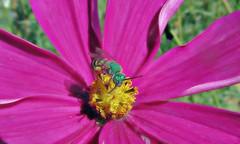 My favorite bee (TJ Gehling) Tags: insect gymenoptera bee halictidae sweatbee greensweatbee metallicgreensweatbee metallicgreenbee agapostemon plant flower asterales asteraceae cosmos centennialpark fairmontpark communitygarden elcerrito