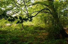 Broxbourne Woods (picqero) Tags: broxbourne hertfordshire foliage nature forest