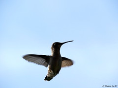 Female Humming Bird. (~~BC's~~Photographs~~) Tags: bcsphotographs canonsx50 female hummingbird kentuckyphotos aroundthefarm summer naturephotos closeups ourworldinphotosgroup earthwindandfiregroup explorekentucky outdoors