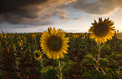 Twin Flowers (MrBlackSun) Tags: valensole provence france nikon d810 lavender sunset thunderstorm storm shower