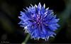Kornblume (heikostange1) Tags: pflanze flower blüte kornblume bloom morgentau natur wiese feld macro garden