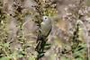 2016 Ruby-crowned Kinglet 30 (Explored) (DrLensCap) Tags: rubycrowned kinglet north park village nature center chicago illinois il bird robert kramer