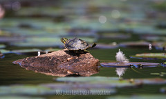 Taa Daa! (MarjRemi) Tags: turtle small eastern painted