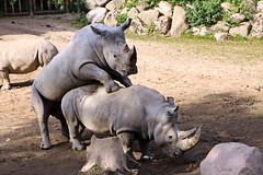 Nashorn - Begattung - Schweriner Zoo (Stefan_68) Tags: deutschland germany mecklenburgvorpommern schwerin zoo schwerinerzoo zoologischergarten tierpark tiergarten tier animal nashorn breitmaulnashorn weisesnashorn ceratotheriumsimum rhinozeros whiterhinoceros squarelippedrhinoceros rinoceronteblanco rhinocérosblanc paarung