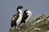 Stewart Island Shag (Alan Gutsell) Tags: bird birding hotpots alan nature wildlife newzealandbirds native endemictonewzealand stewart island ulva shag stewartislandshag cormorant newzealand