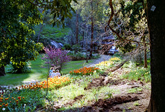 September 1998 - Lovely valley setting midst tall Jarrah gums, as tulips start to bloom at Araluen Botanic Park, Roleystone, Western Australia, Australia (aussiejeff) Tags: 1990s 1998 valley tulips blooms araluenbotanicpark roleystone westernaustralia australia brilliant red gold multicolor tulipvariety leenvandermark triumphtulip jeffc aussiejeff tulipseason seagulldf300 slrcamera minolta x300 x370 kodakgold kodakgold100 colornegative film sigma28200mm compactslrasphericalhyperzoom macrolens canon canoscan8800f scan restoration