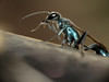 Blue Mud Dauber (Shaikh Gaffar) Tags: bluemuddauber insects insect macro mumbai india ngc canon