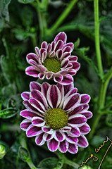 Thinking of you (ingcuevas) Tags: flower natural nature cute pretty romance colors colorful green plant small fragile fucsia petals beautiful beauty delicate twop clickcamera