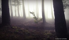 Little tree (Guillermo Carballa) Tags: tree trees pines light colors carballa lx5 fog mist