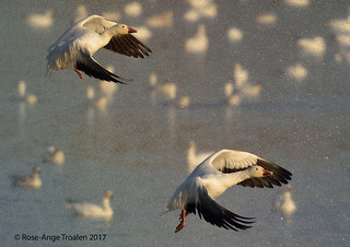 Oie des neiges / Snow Goose