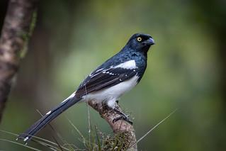 Tietinga - Magpie Tanager (Cissopis leverianus)
