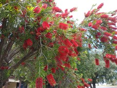 25Oct17 Finally our bottle brush tree is in bloom. It's looking much better than previous years. Aren't the flowers just fascinating? I love them! #latergram #2017pad #photoaday #picaday #australian #southaustralia