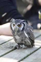 Unshaved Owl (Photography by Martijn Aalbers) Tags: falconcrest birds vogels bird vogel birdofprey roofvogel eindhoven canoneos77d ef70200mmf4lisusm wwwgevoeligeplatennl owl uil