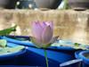 Nelumbo nucifera 'Boli Gongzhu' Lotus Wahgarden Thailand 14 (Klong15 Waterlily) Tags: nelumbo nelumbonucifera lotus thaillotus chainalotus pinklotus pond lanscap flower lotusflower
